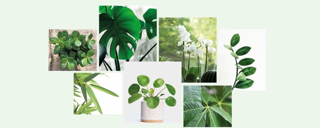 Les plantes «porte-bonheur»